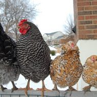 winter chickens