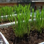 grow your name with wheatgrass